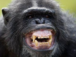 Bonobos 10