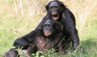 Bonobos 8